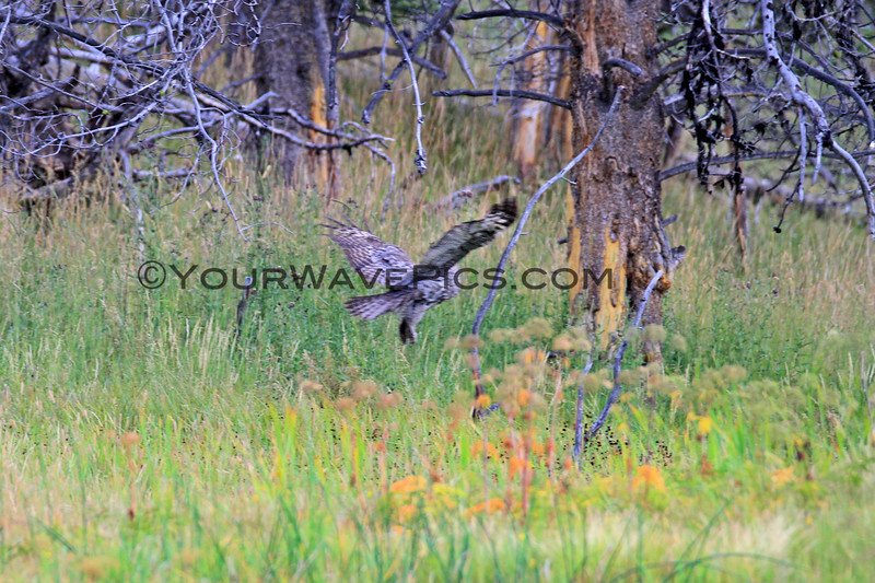 2019-09-05_42_Yellowstone_Great Grey Owl.JPG