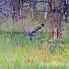 2019-09-05_42_Yellowstone_Great Grey Owl.JPG
