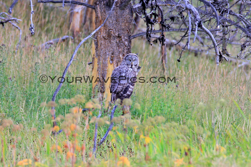 2019-09-05_51_Yellowstone_Great Grey Owl.JPG
