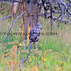 2019-09-05_51_Yellowstone_Great Grey Owl.JPG