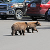 2019-09-14_844_Tetons_Jenny Lake_Brown Bear Cubs.JPG
