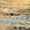 2019-09-10_386_Yellowstone_Lamar Valley_Grizzly Sow_2 Cubs.JPG