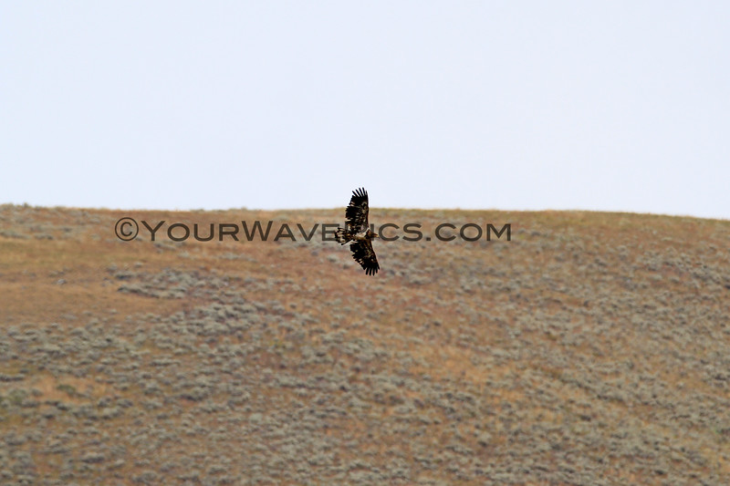 2019-09-10_394_Yellowstone_Lamar Valley_Hawk.JPG