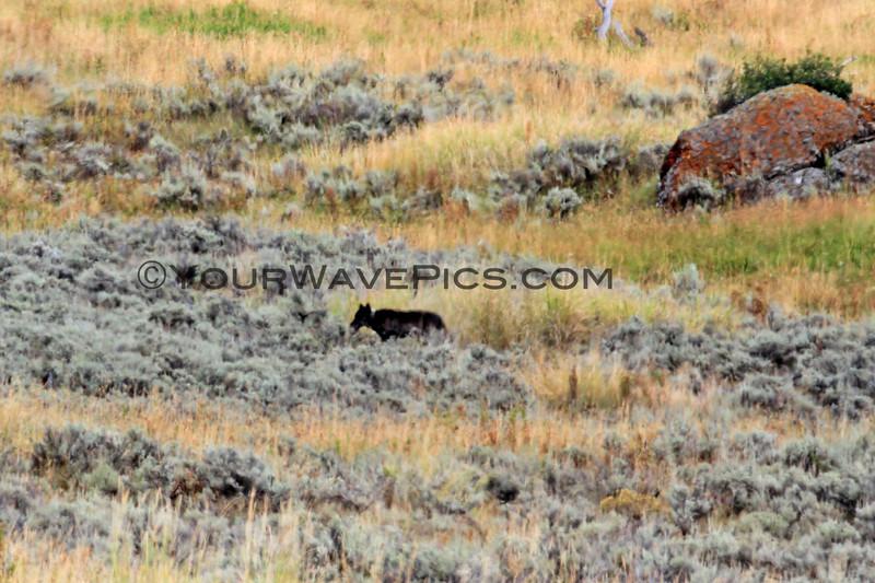 2019-09-10_389_Yellowstone_Lamar Valley_Black Wolf.JPG