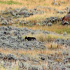 2019-09-10_389_Yellowstone_Lamar Valley_Black Wolf.JPG