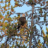 2019-09-12_732_Tetons_Bald Eagle.JPG