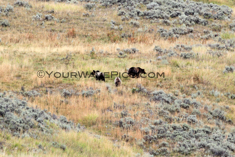 2019-09-10_407_Yellowstone_Lamar Valley_Grizzly Sow_2 Cubs.JPG