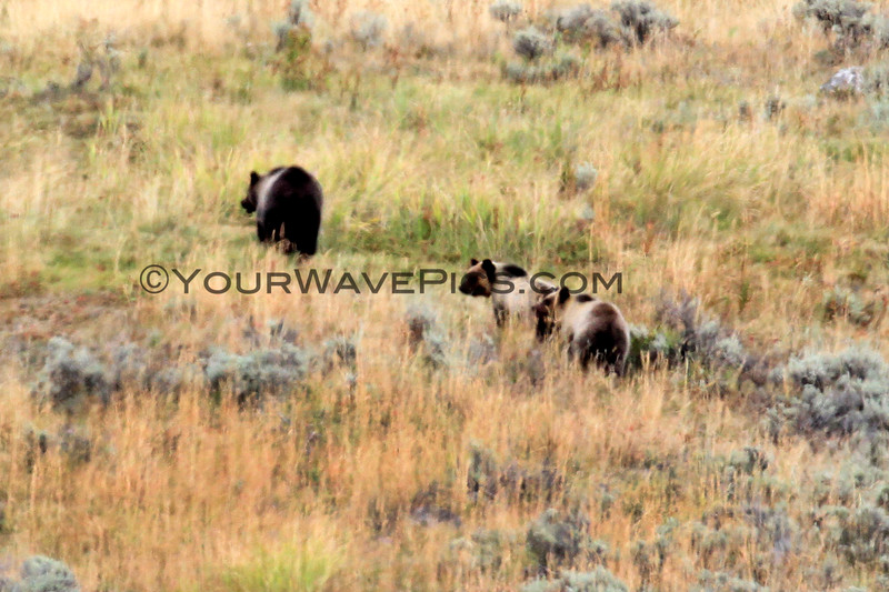 2019-09-10_405_Yellowstone_Lamar Valley_Grizzly Sow_2 Cubs.JPG