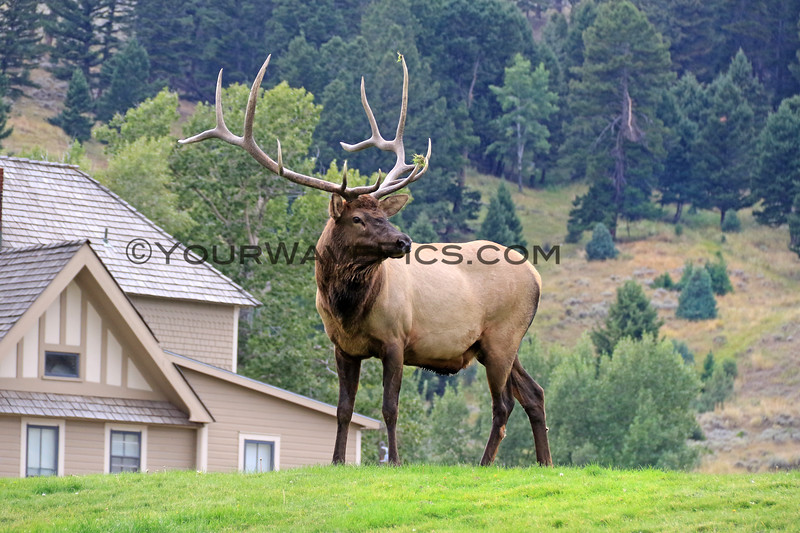 2019-09-10_432_Yellowstone_Mammoth Hot Springs_Bull Elk.JPG