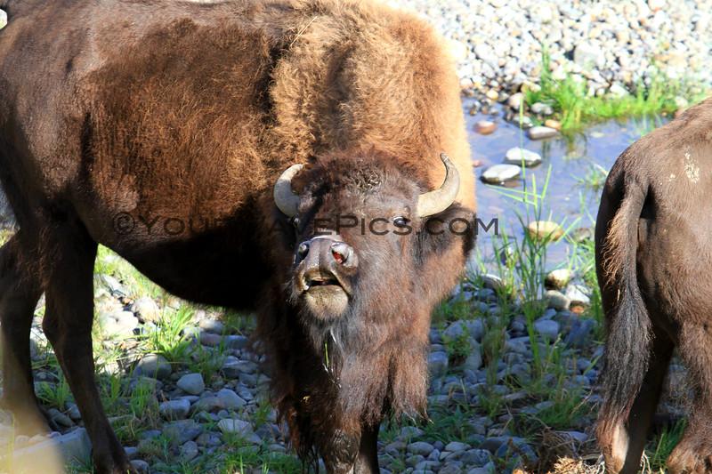 2019-09-07_249_Yellowstone_Lamar Valley_Bison.JPG
