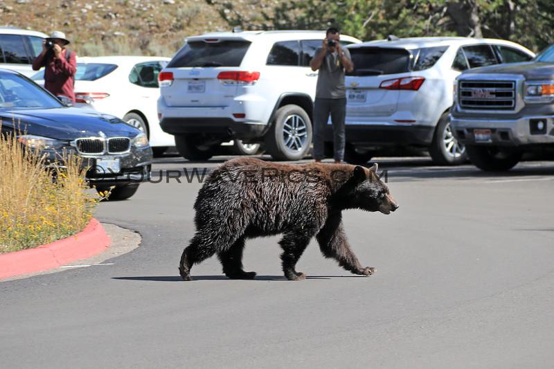 2019-09-14_839_Tetons_Jenny Lake_Brown Bear Sow.JPG