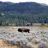 2019-09-07_228_Yellowstone_Lamar Valley_Bison.JPG