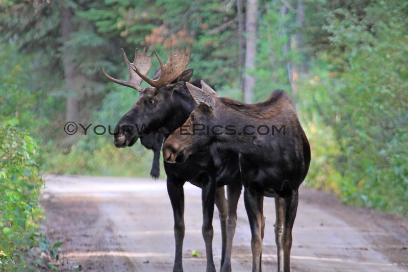 2019-09-12_623_Tetons_Two Ocean Lake_Two Moose.JPG