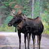 2019-09-12_623_Tetons_Two Ocean Lake_Two Moose.JPG