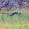 2019-09-05_38_Yellowstone_Great Grey Owl.JPG