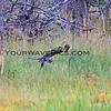 2019-09-05_38_Yellowstone_Great Grey Owl.JPG