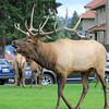 2019-09-10_436_Yellowstone_Mammoth Hot Springs_Bull Elk Bugling.JPG