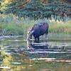 2019-09-15_955_Tetons_Schwabacher Landing_Moose.JPG