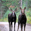 2019-09-12_614_Tetons_Two Ocean Lake_Two Moose.JPG