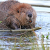 2019-09-12_703_Tetons_Beaver_Eating Bark.JPG