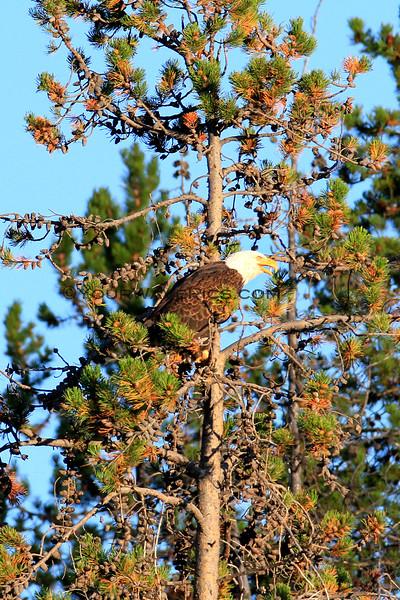 2019-09-12_723_Tetons_Bald Eagle.JPG
