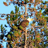 2019-09-12_723_Tetons_Bald Eagle.JPG