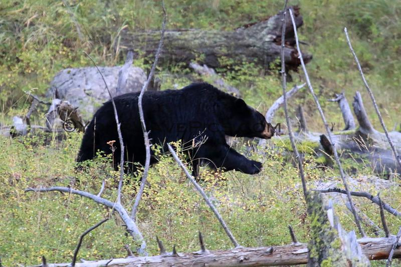 2019-09-09_342_Yellowstone_Slough Creek_Black Bear.JPG