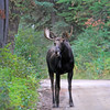 2019-09-12_601_Tetons_Two Ocean Lake_Moose.JPG