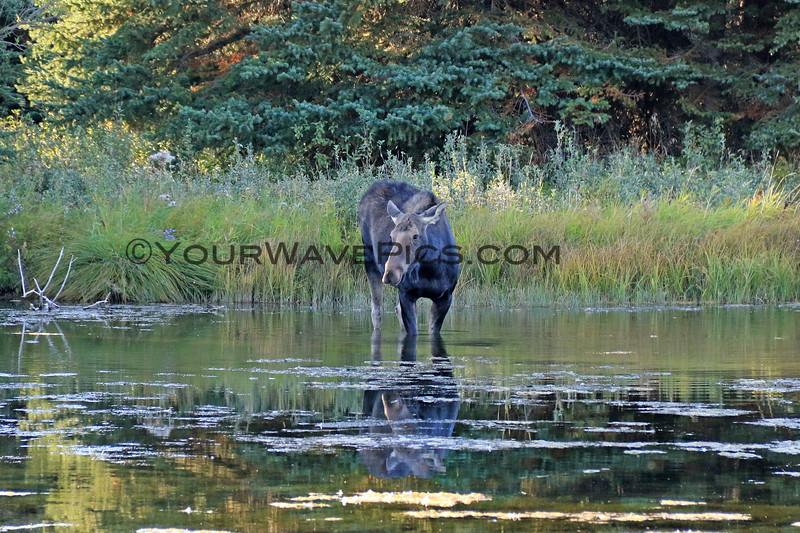 2019-09-15_950_Tetons_Schwabacher Landing_Moose.JPG