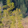2019-09-13_815_Tetons_Two Bald Eagles.JPG