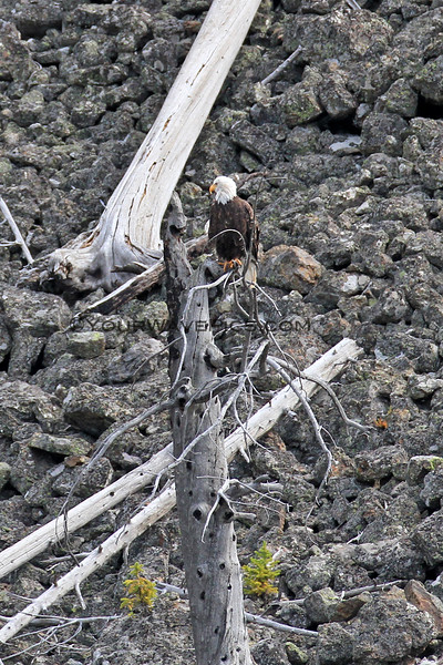 2019-09-05_14_Yellowstone_Bald Eagle.JPG