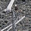 2019-09-05_14_Yellowstone_Bald Eagle.JPG
