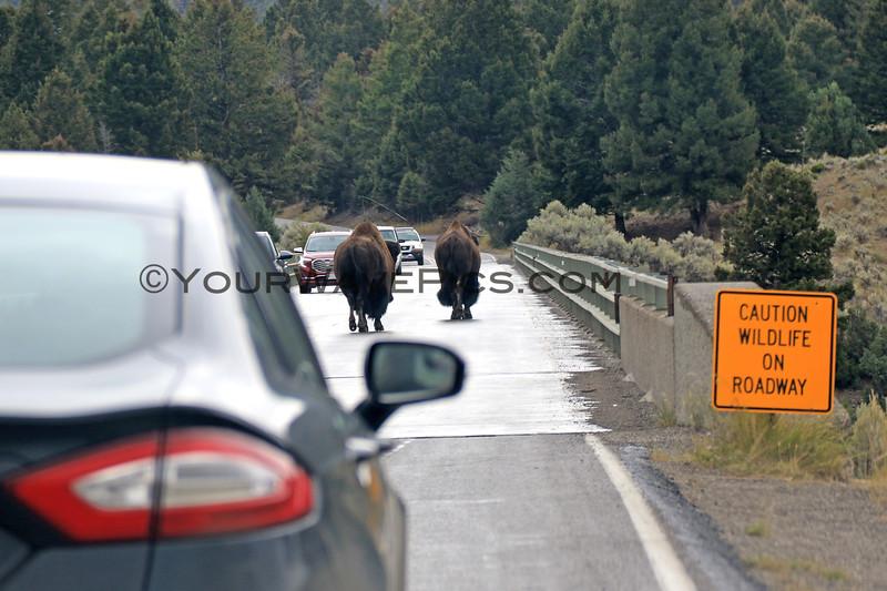 2019-09-10_352_Yellowstone_Bison on Road.JPG