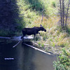 2019-09-14_860_Tetons_Moose Ponds_Moose Cow.JPG