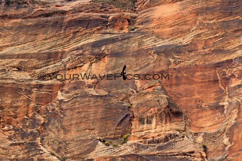2019-09-26_1624_Utah_Zion_Condor.JPG