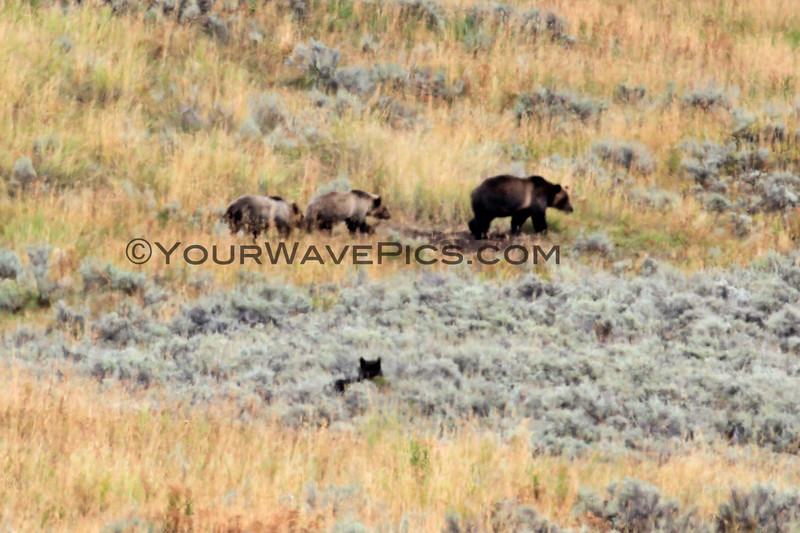 2019-09-10_378_Yellowstone_Lamar Valley_Grizzly Sow_2 Cubs_Wolf.JPG