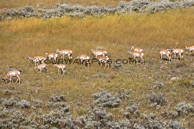 2019-09-09_308_Yellowstone_Pronghorn Antelope.JPG