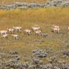2019-09-09_308_Yellowstone_Pronghorn Antelope.JPG