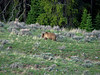 Grizzly Bear near Dunraven Pass