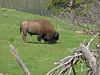 Bison, North shore of Lake Yellowstone