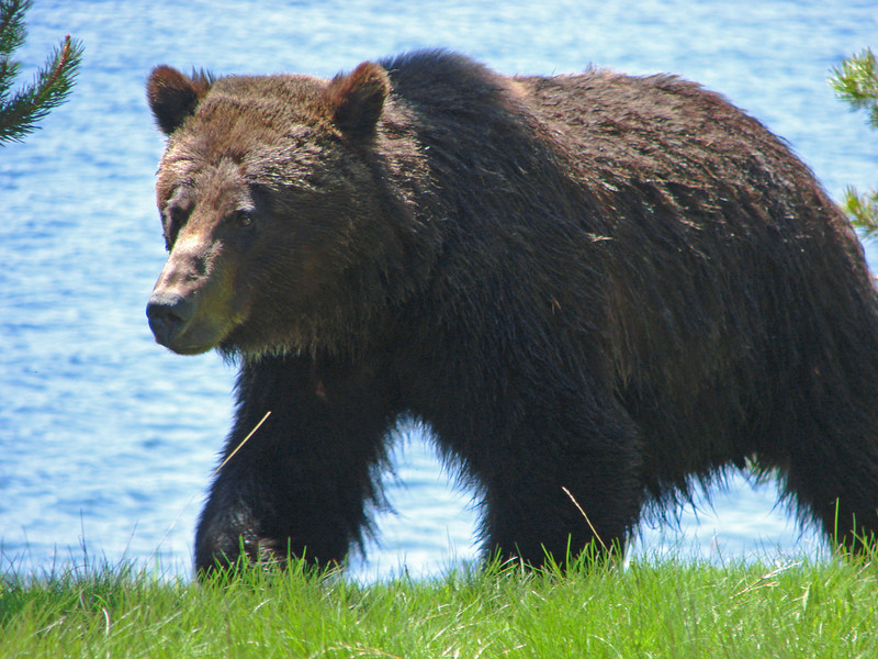 Grizzly near Bridge Bay