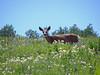 Mule Deer in meadow along Whitney Road