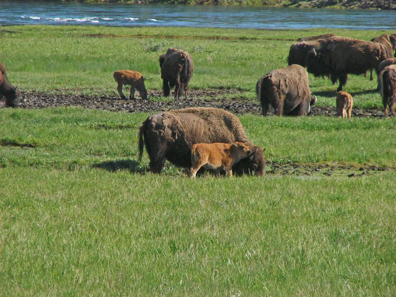 Female Bison and calves in Hayden Valley
