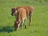 Bison calves in Hayden Valley