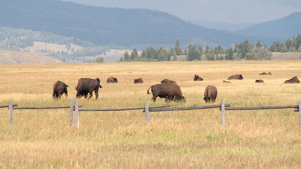Herd of Healthy Bison