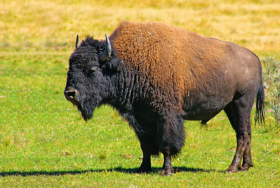 A mellow bison