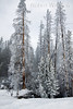 Winter, Snow on Trees, Yellowstone National Park, Wyoming, USA, North America