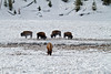 Winter, Bison, Madison Area, Yellowstone National Park, Wyoming, USA, North America