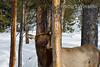 Elk, Eating Bark on Lodgepole Pine, Winter, Yellowstone National Park, Wyoming, USA, North America