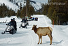 Elk and Snowmobilers on Road near Madison, Winter, Yellowstone National Park, Wyoming, USA, North America